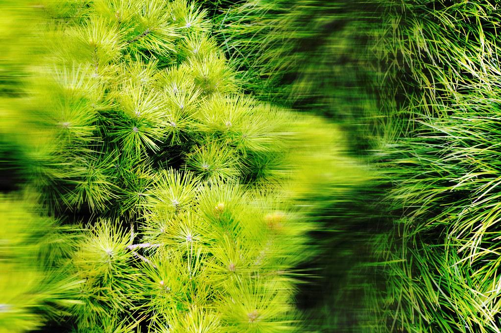 Pine tree needles ornamental grass japanese garden fort wo for Ornamental japanese grass