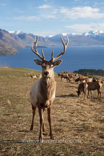 Red Deer in Queenstown, New Zealand | Red Deer ( Cervus ...