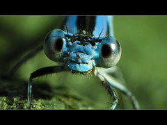 Damselfly 2 - Macro | by David Gn Photography
