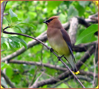 "Just the way you are,Cedar Waxwing! | by Darrell Colby "" You Call The Shots """