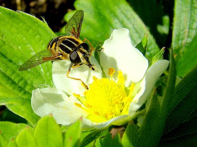 Fleur De Fraisier 2 Lindadeus Flickr