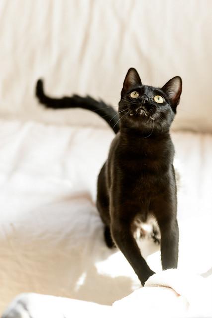 Selva, gatita Pantera guapa, estilizada y divertida esterilizada, nacida en Mayo´16, en adopción. Valencia. ADOPTADA. 32605819400_f253f545e1_z