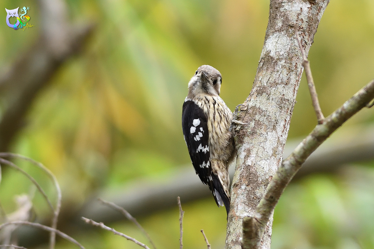 Grey-headed Pygmy Woodpecker_0230