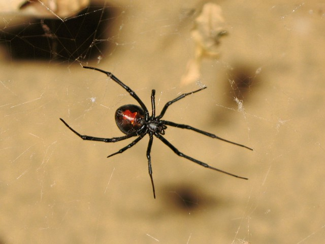 how to kill a redback spider