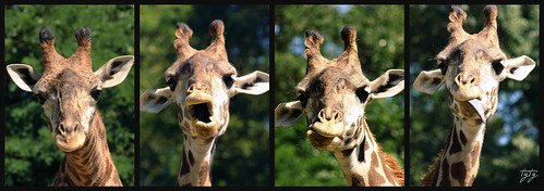 The many faces of the giraffe......... | by astanse♥(Angela Stansell)