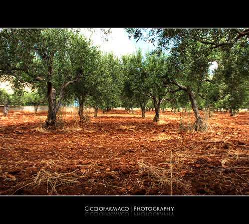 Castelluzzo - Simmetry of the olive trees :: HDR | by ciccioetneo