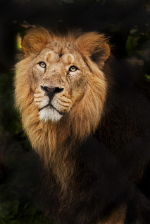 Lion Stare - Sep 2012 | by Ben Pearey