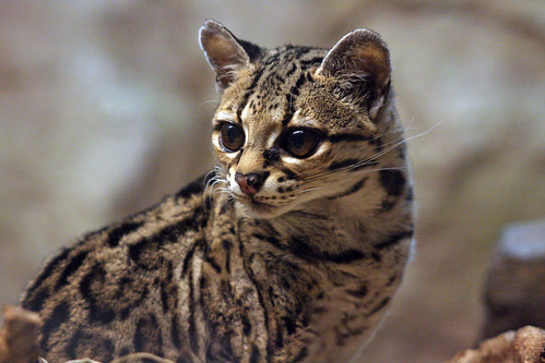 Southern Brazilian Ocelot | by Connie Lemperle