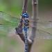 Blue Dragonfly 3