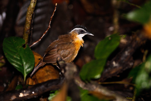 Black-capped Babbler, Borneo Rainforest Lodge, Danum, Borneo, 2009-06-28 (1 of 2).jpg | by maholyoak