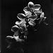 Phalaenopsis in Caffenol