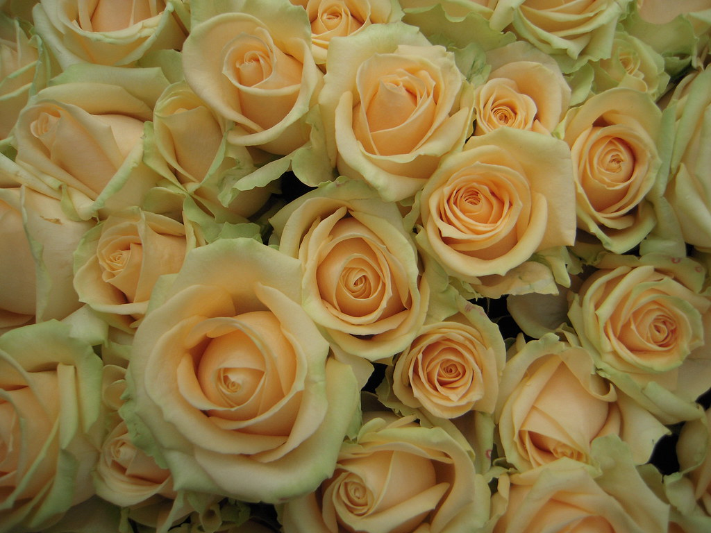 Rose Avalanche E Ortensie : Peach avalanche my most favourite rose ever hands down