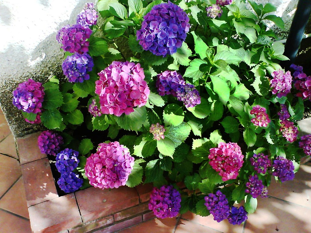 Ortensia in fiore nel giardino della mia casetta al mare for Giardino 3d gratis italiano