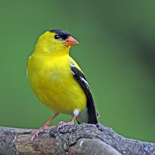American Goldfinch | by ehpien
