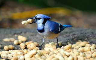 Blue Jay Raiding Nut Pile | by Brian E Kushner