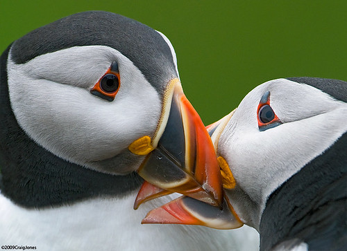 An Intimate View-Puffins | by Craig Jones Wildlife Photography