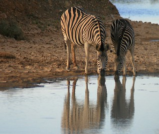 Zebras at the watering hole | by Signe09