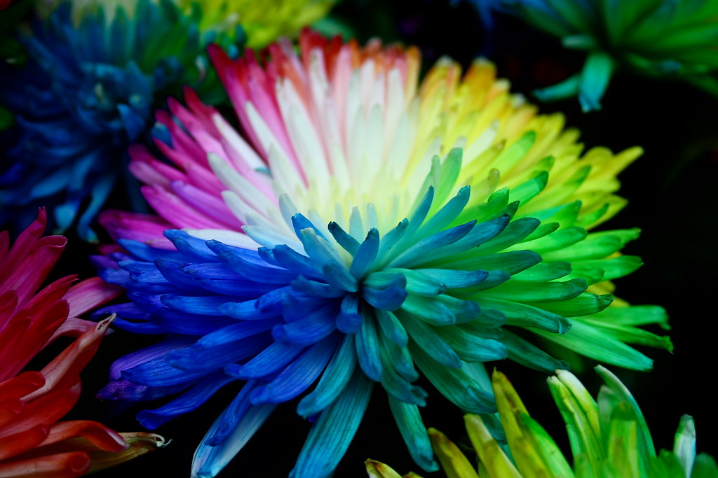 Real multi coloured flower believe it or not these are for How to make multi colored flowers