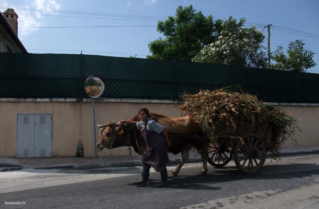 Il existe encore des vieilles qui vont chercher le fourrage, avec une charrette et un bœuf!