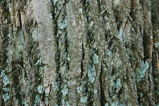 Tree Bark Texture 01 | by SixRevisions