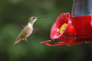Female Rufous Hummingbird - Selasphorus rufus | by Stephen Ramirez @ Birdsiview.org