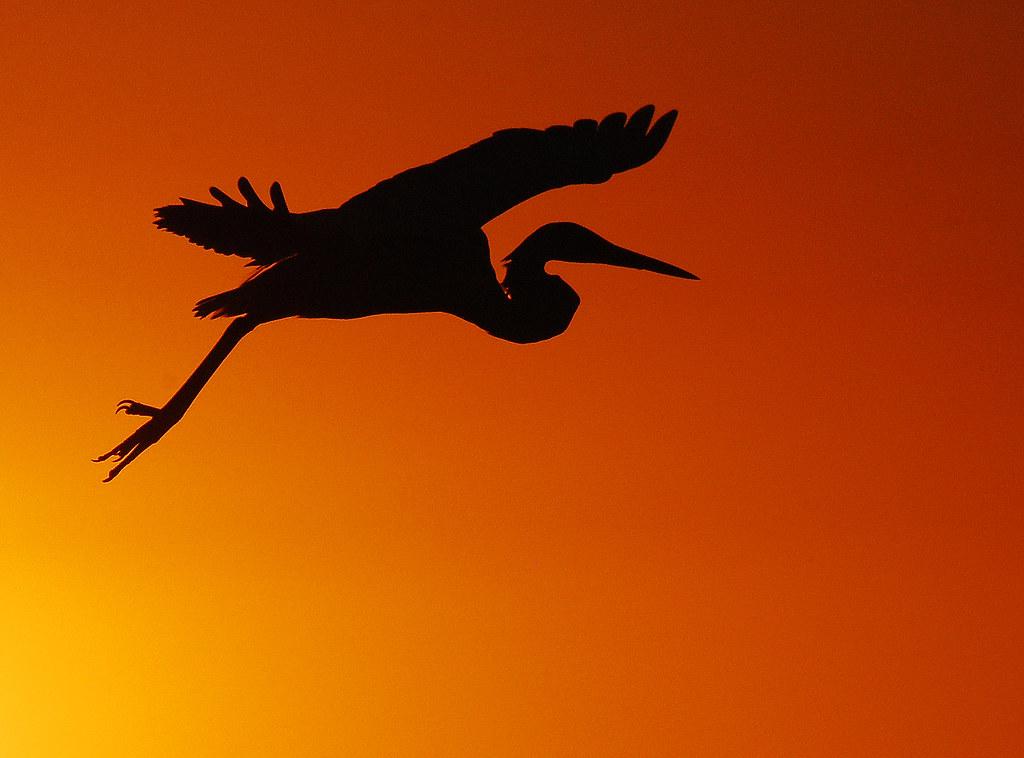 egret flying silhouette jessie flickr