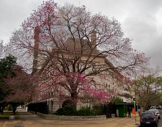 Pink Lapacho Tree | by blmurch