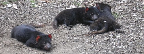 Tasmanian Devils at Something Wild Cropped | by Moto Adventure