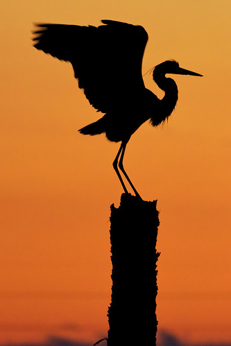 Great Blue Heron Silhouette | by Photomatt28