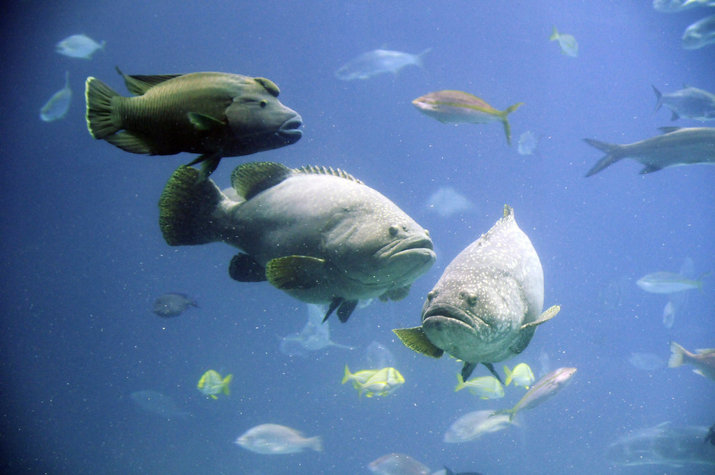 giant groupers and humphead wrasse | Gail Des Jardin | Flickr | 1024 x 680 jpeg 153kB
