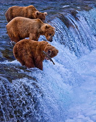 Katmai Bears Alaska - Lucky One 6167 Web | by Gleb Tarro - www.fotowalk.com