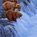 Katmai Bears Alaska - Lucky One 6167 Web