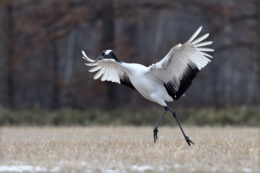 a red crowned crane a principal dancer a red crowned cr flickr
