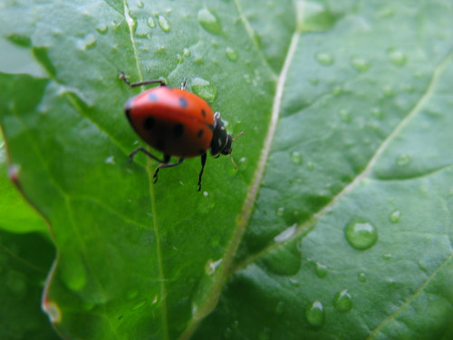 Gardner Happiness: Ladybugs! | by Wayan Vota