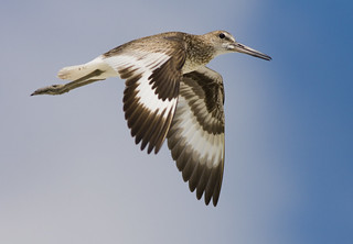 flying willet | by p simmons