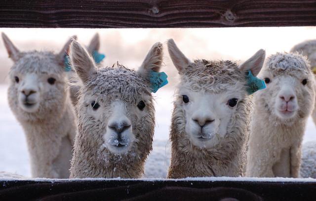 Alpaca Pack | Peter Jackson! | Flickr