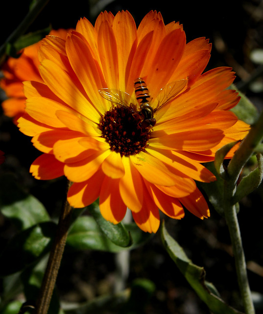 calendula a touch of red igp7038 flickr photo sharing. Black Bedroom Furniture Sets. Home Design Ideas