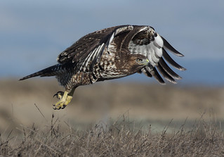 Red-tailed Hawk Taking off | by Yamil Saenz