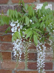Healthy Wisteria | by James's GW Blog