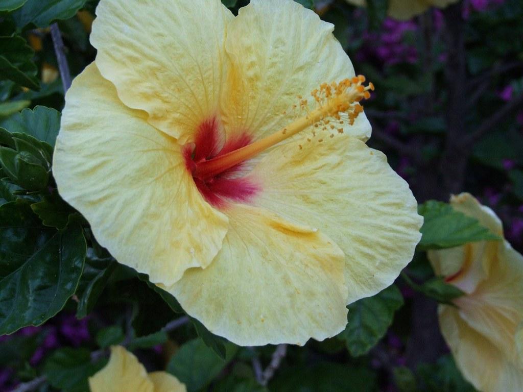 Yellow Hibiscus Flower Taormina Sicilia Italy Creative C…