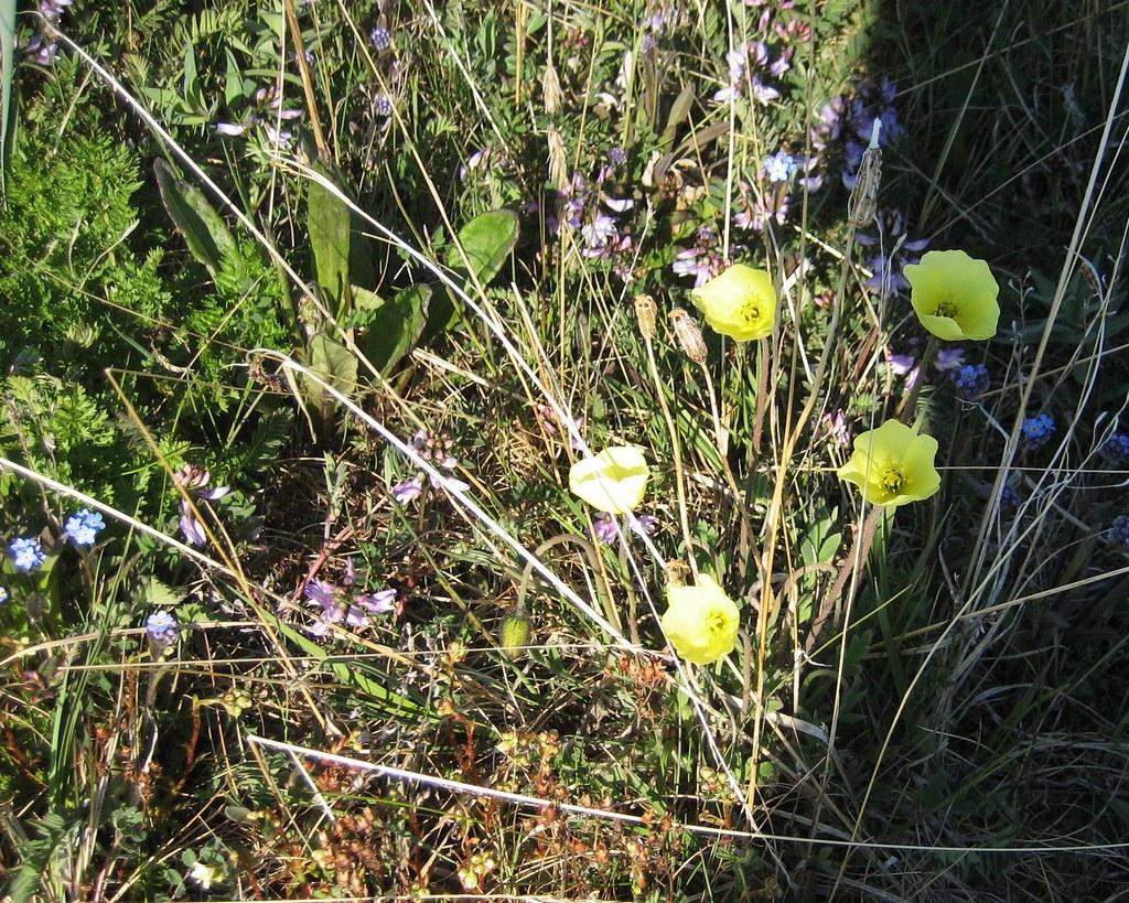 Yellow Tundra Flowers At Anigaaq Ranger Station Cape Kru Flickr
