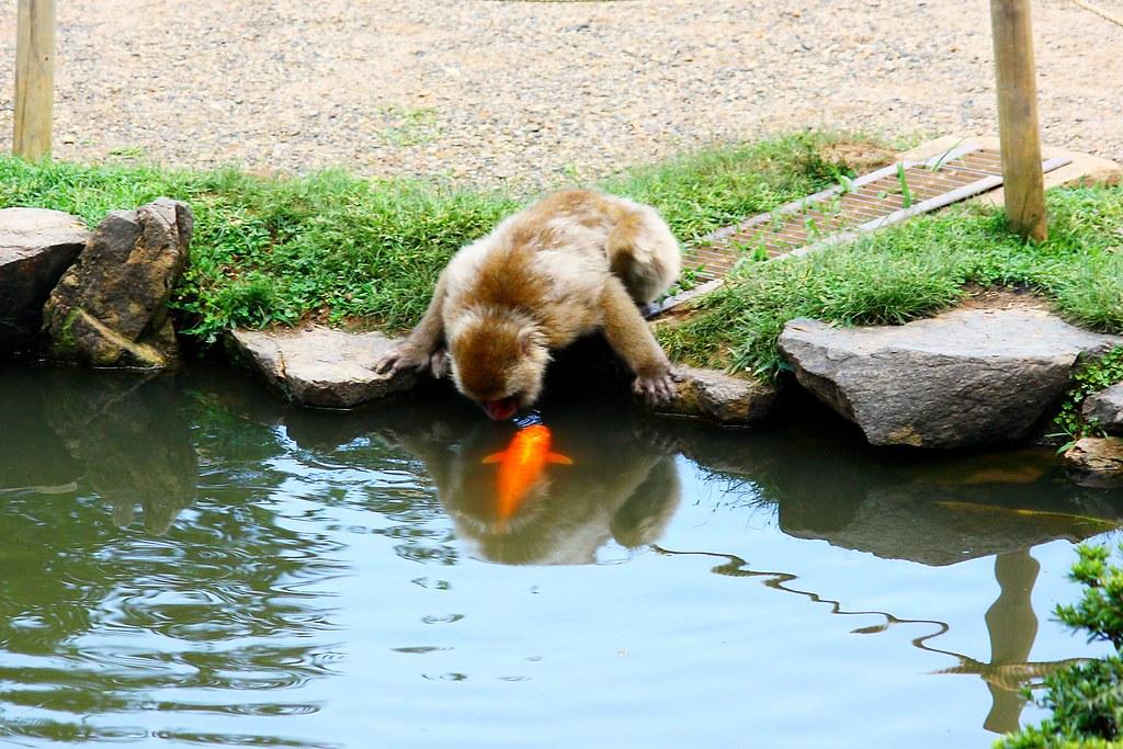 Iwatayama Monkey Park  Andrea Schaffer  Flickr