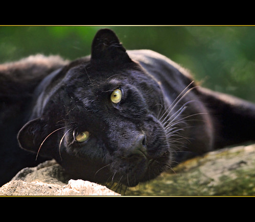 Black beauty | by Tambako the Jaguar