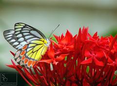 023. butterfly : Common Jezabel