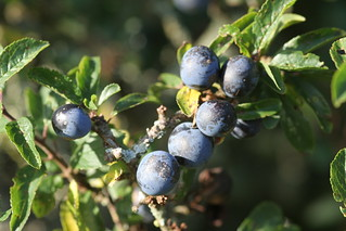Sloes, Anglesey | by Richard Carter