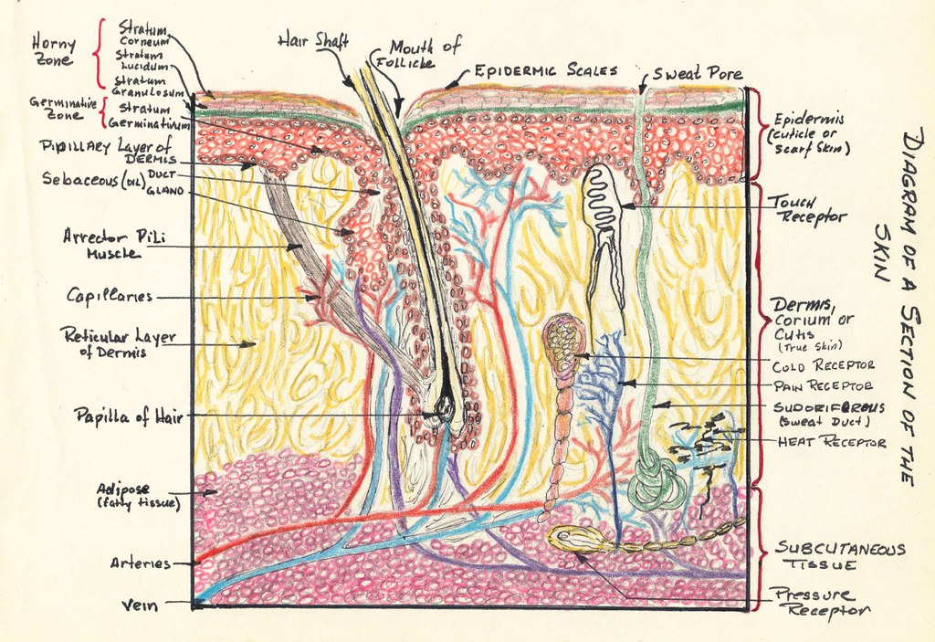 Diagram Of A Section Of The Skin Joseph Palatinus Flickr
