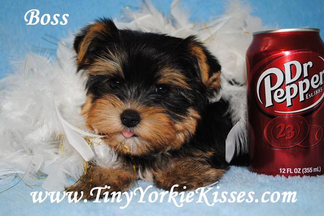 Yorkie Puppy Sale Tiny Yorkie Kisses Flickr
