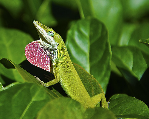 Green Anole | by MAM Photography