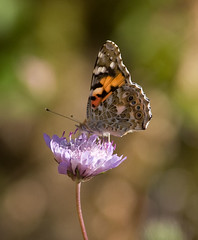 Painted-Lady-20090528 | by Paradise in Portugal