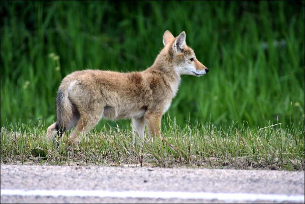 baby coyotes for sale - 1024×684